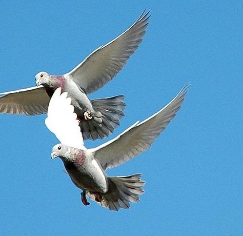 Palomas volando