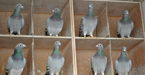 http://www.dreamstime.com/royalty-free-stock-photo-pigeon-females-dovecote-image17397375