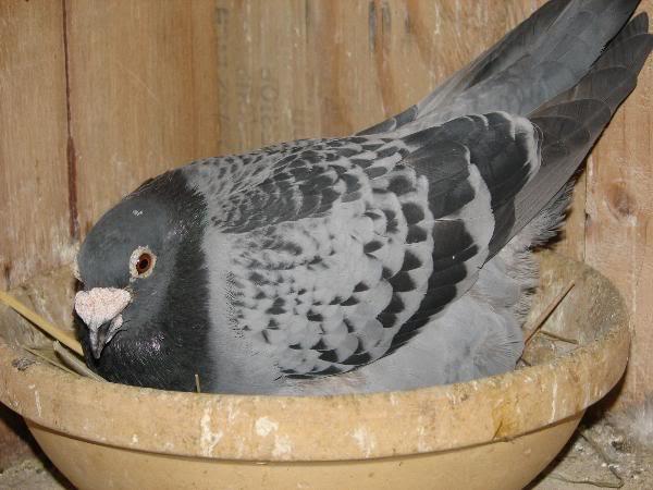 pigeons_037-600x450